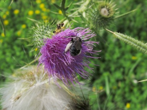 2 Insects on a Purple Thistle – photo by timorous