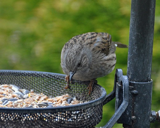 A Dunnock or Hedge Sparrow feeding on seeds
