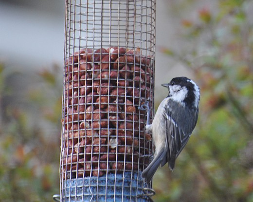 A Coal Tit feeding on a nut-feeder in the garden
