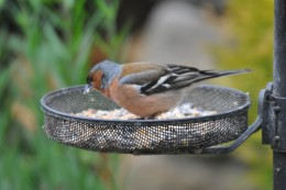 Male Chaffinch feeding on seeds