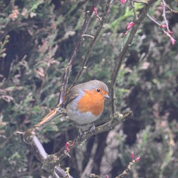 British Robin perched in a bush