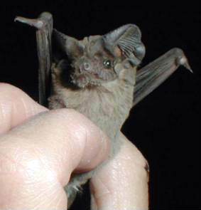 Texas State Flying Animal - Free tailed bat