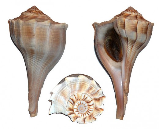 Texas State Shell - Lightning Whelk