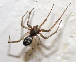 False Black Widow spider - Steatoda grossa - found in the Canary Islands