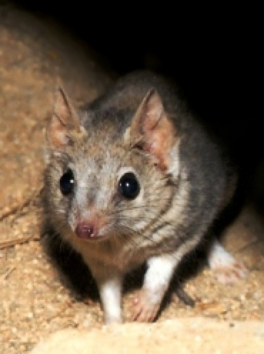 Gerbil resembles to a mouse
