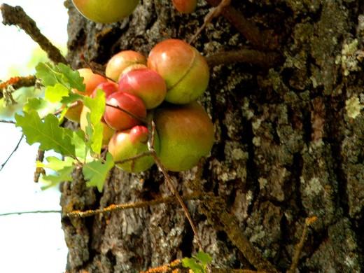 Oak Pods Growing on Trunk