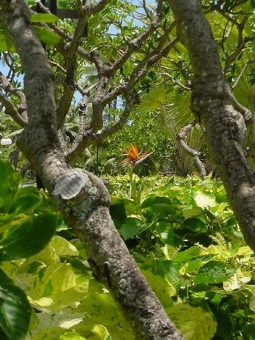 Bird of Paradise in Garden Copyright Ruth Kongaika