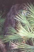 Skunk Ape Sightings: Florida Bigfoot