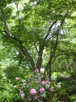Rhododendrons - Beautiful Flowering Shrubs