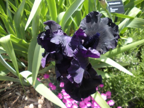 Photo 4 - I thought the black and purple flowers growing with pink ones in the background make a nice effect.