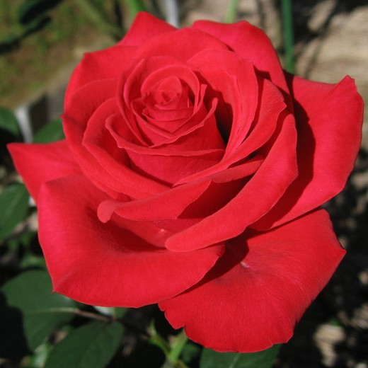 A perfect red rose