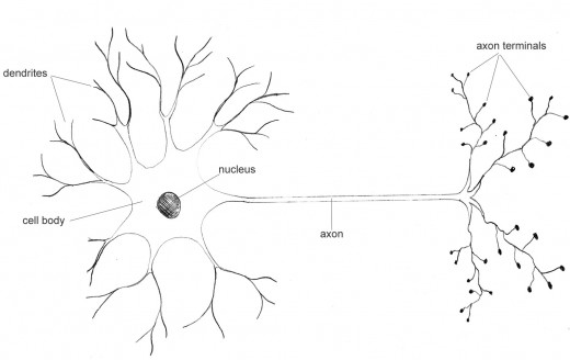 Figure 1. Simplified diagram of a typical neuron