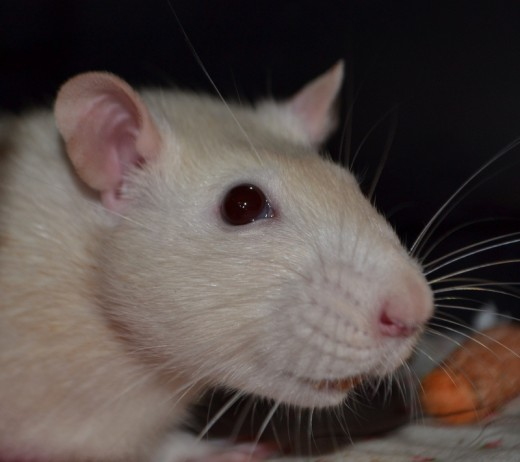 Rat Smile