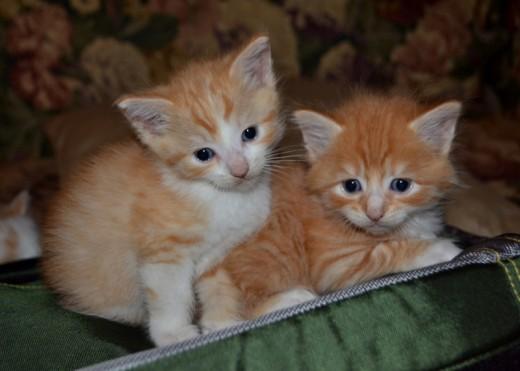 Kitten Klub
