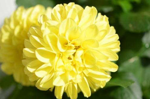 Photo 2 - Dahlia