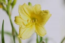 Photo 4 - Yellow Daylily