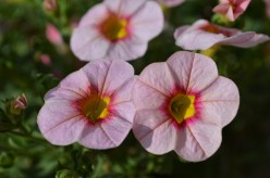 Pink Flowers - A Photo Gallery of Various Pink Flowers