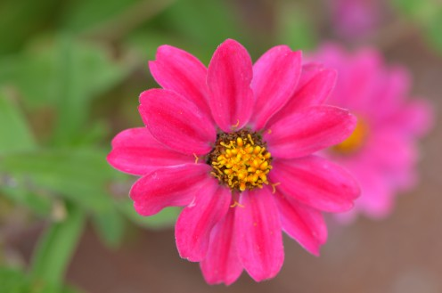 a photo gallery of bright pink and hot pink flowers  hubpages, Natural flower