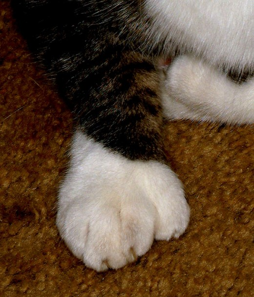 Extra toed cat paw, boxing glove cat paw.