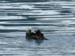 An Alaskan sea otter.