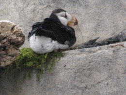 This picture of a puffin was taken at the Anchorage Aquarium.