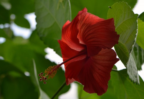 Photo 12 - Red Hibiscus Flower