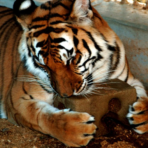 Tiger enjoying a salt-lick