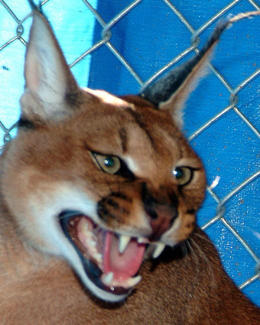 Angry Lynx