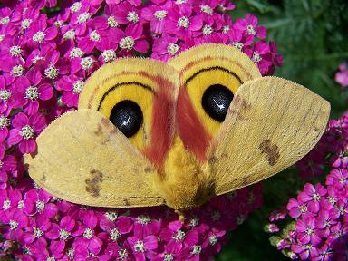 Io Moth on Pink Yarrow
