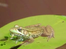 Backyard frog