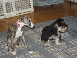 Family dogs; my daughter's whippet and my other daughter's havanese