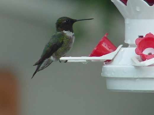 Hummingbird in my yard.