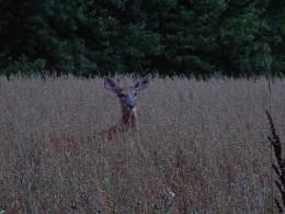 Photo of deer taken in a nearby field.