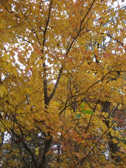 Golden leaves of fall