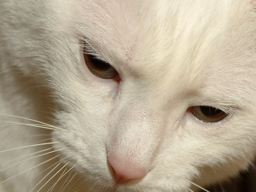 White cat face up close
