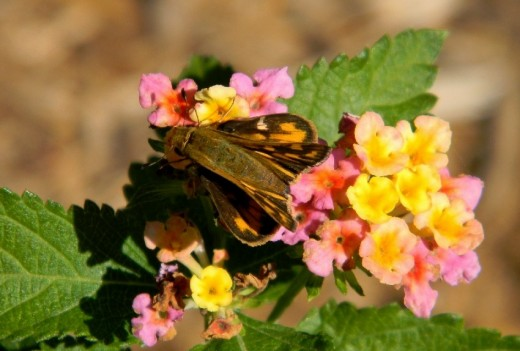 This feisty Skipper made good use of the bright colored offering of this last of the summer flora, a Lantana that is a delightful nectar food for butterflies.