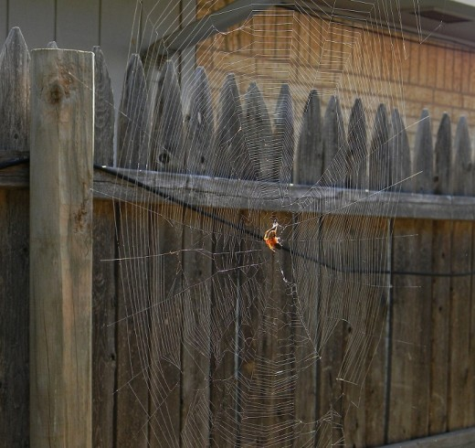 This garden spider had build a HUGE web between the fence and house.  It was almost three feet tall but had been torn by the wind.   The spider was in repair mode, and I stayed far enough away so as to not bother its working.