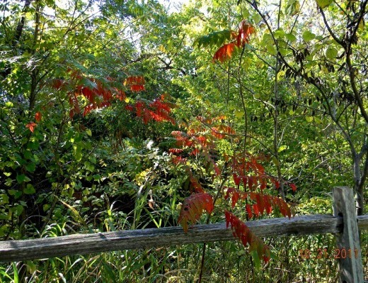 Red, green and sunshine:  Colors decorating a wood rail fence contrast strikingly, as I huff up a small hill on this lovely fall stroll.  Bittersweet vine in left background has not yet turned orangy-red.