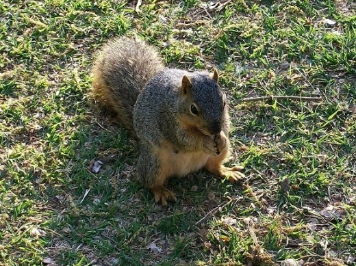 This almost-too-friendly squirrel wanted a gift of food.  It followed me around till deciding there would be no nut-giving today.  He lives in the black walnut trees at Hafer park.  And eats a lot of junk food tossed by hapless admirers.