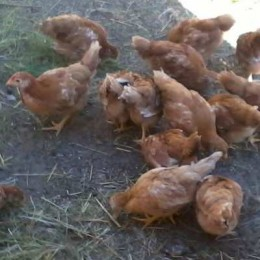 New Hampshire Red Hens