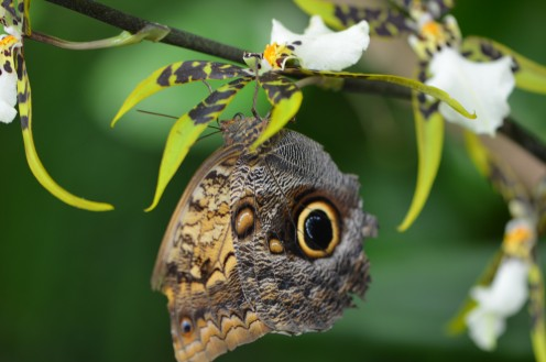 Another Owl butterfly on an orchid.  The color is a bright yellow, almost green, with brown in the petals.