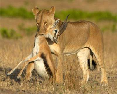 Lionesses take charge of the hunting