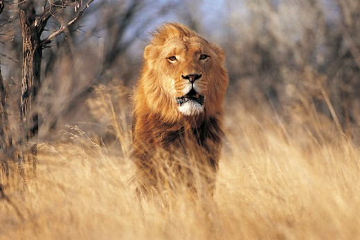 Lions are endangered of extinction