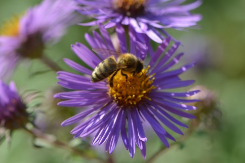 Photo 6 - (See also photo 9, same kind of flowers, different angle.) Bee on Purple Aster.