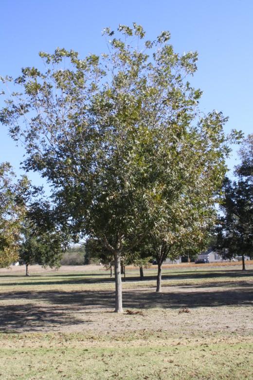 A Pecan Tree