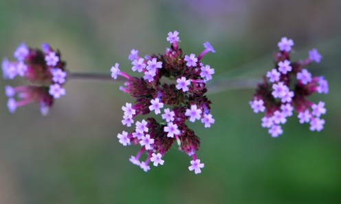 Photo 4 - Sweet little purple flowers in a cluster.