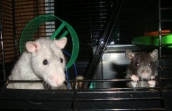 Rats Make Fantastic Pets - But Are They Right For You?