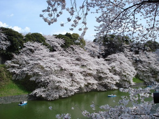 Cherry blossoms in full bloom at the Tokyo Imperial Palace