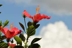 The Hibiscus Flower - Photos and Information