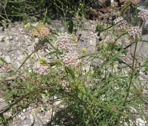 An overview of a Narrowleaf Milkweed plant in July as its buds begin to bloom.